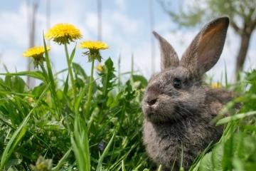 Wie wird das Wetter über Ostern? Der TFA Wettertrend wird heute von einem Kaninchen illustriert, das in einer Wiese zwischen Löwenzahn sitzt. Das sind doch echte Frühlingsboten!