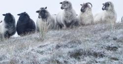Eine Herde Schafe steht auf einem Grashügel, der von Frost überzogen ist. Es ist das Headerbild für den TFA Wettertrend