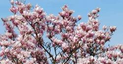 Blühender Magnolienbaum und im Hintergrund ist ein Kirchturm mit Uhr. Wettertrend für Deutschland wird frühlingshaft. Denken Sie an die Zeitumstellung 2019