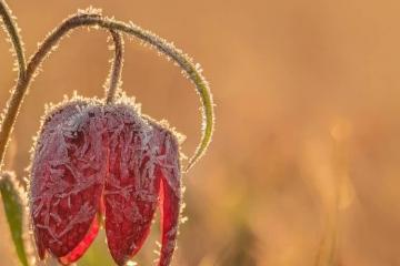 Wettertrend für Deutschland sagt Bodenfrost voraus. Das Bild zeigt dazu passend eine Frühlingsblume auf einer Wiese, die mit Frost überzogen ist.