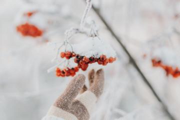 Winterbeeren mit Schnee bedeckt werden gepflückt