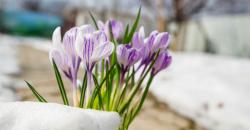Wettertrend März: Krokusse blühen im Schnee und bei Sonnenschein